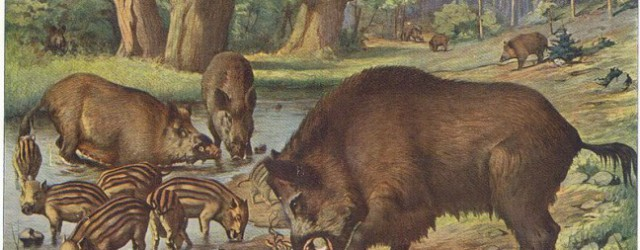 In the long history of invasive species in Appalachia, no story is more striking that that of the European wild boar. Often called Russian boars. . .