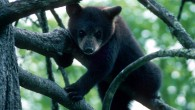 Bear Cub_Mark haskett