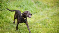 The Plott Hound is an agile, muscular dog with a short, often brindle colored coat and historic mountain heritage. Of […]