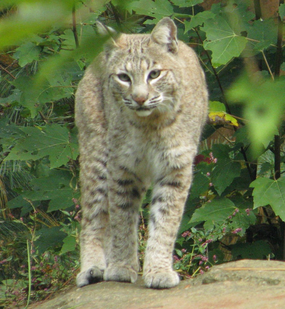 Bobcat--Courtesy Western North Carolina Nature Center, Asheville, NC