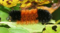 640px-IC_Pyrrharctia_isabella_caterpillar