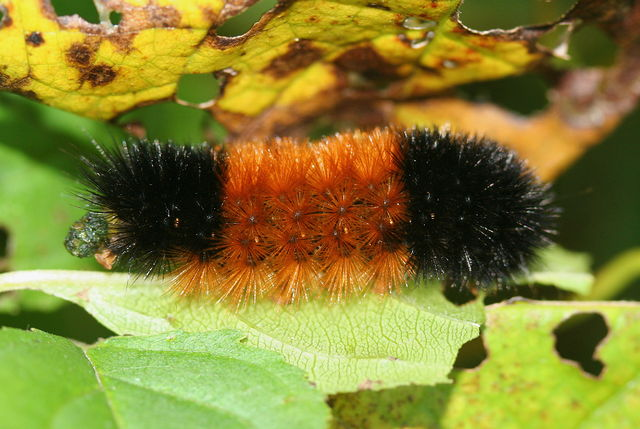 Woolly Worms