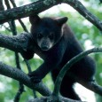 Western North Carolina is home to many different species of Appalachian animals. Here is a small list of the animals […]