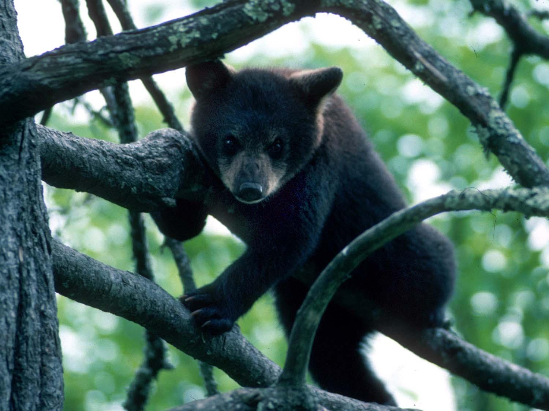 Black Bear Paw >> Native Animals